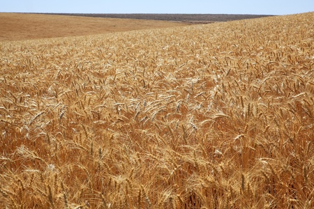 Ripe Wheat Field Ready for Harvest Blue Skies Palouse Washington State Pacific Northwest Stock Photo - 10984782