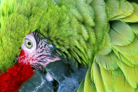 Green Red Feathers Military Macaw Close Up Looking at You