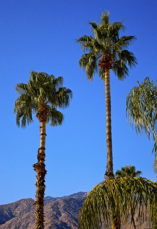 Fan Palms Trees Palm Springs California washingtonia filifera Stock Photo