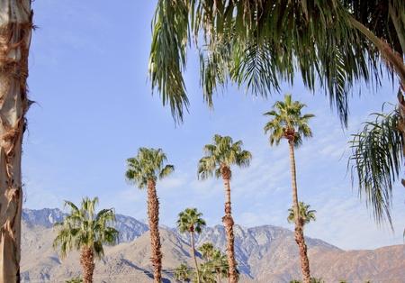 resortes: Palmitos �rboles Palm Springs California Washingtonia filifera Foto de archivo