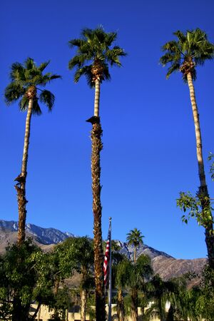 Fan Palms Trees washingtonia filifera American Flag Palm Springs California  photo