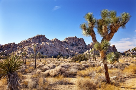Joshua Tree Landscape Yucca Brevifolia Mojave Desert Joshua Tree National Park California Named by the Mormon Settlers for Joshua in the Bible because the branches look like outstretched hands Foto de archivo