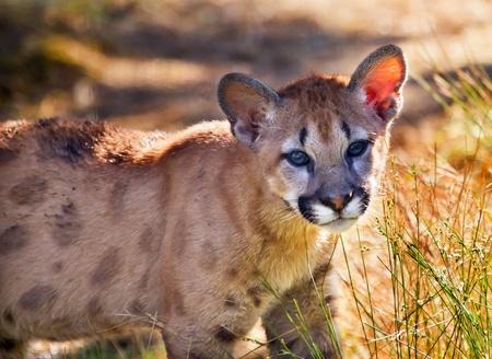 Young  Mountain Lion Kitten, Cougar, Puma Concolor Predator, on Rocky Mountain photo