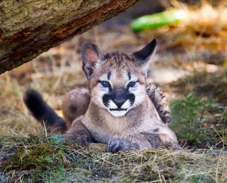 Young  Mountain Lion Kitten, Cougar, Hiding Puma Concolor Predator, on Rocky Mountain photo