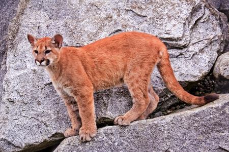 Young  Mountain Lion, Cougar, Puma Concolor Predator, on Rocky Mountain