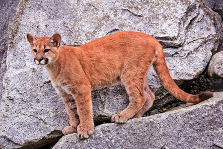 Young  Mountain Lion, Cougar, Puma Concolor Predator, on Rocky Mountain photo