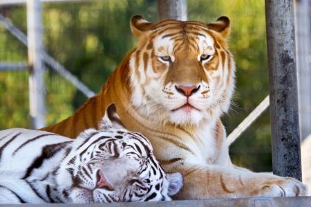 Buddies Royal White Orange Black Bengal Tigers Friends Resting Together, panthera tigris tigris