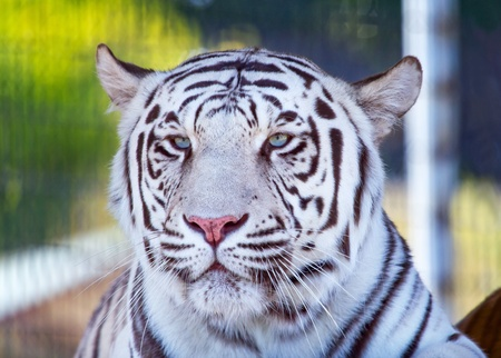 white tigers: Royal White Bengal Tiger Looking, panthera tigris tigris Stock Photo