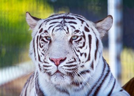 Royal White Bengal Tiger Looking, panthera tigris tigris photo