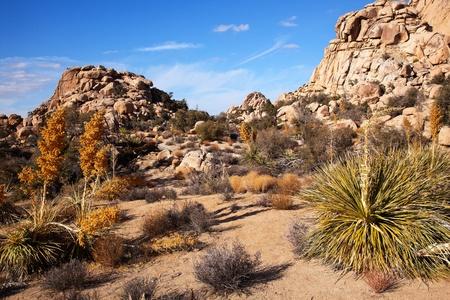 joshua: Yucca Nolina Beargrass Joshua Tree Landscape Mojave Desert Joshua Tree National Park California Stock Photo