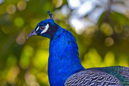 pavo cristatus: Blue Peacock Feathers and Neck Peafowl Pavo cristatus National bird of India