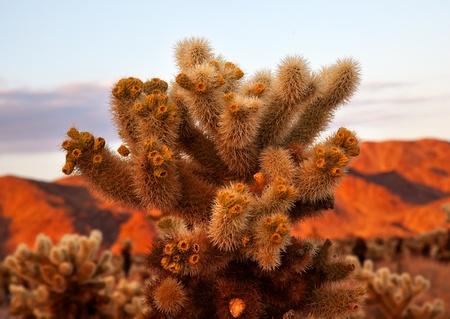 cholla: Cholla Cactus Garden Sunset Mojave Desert Joshua Tree National Park California  Teddy bear Cholla Cactus Cylindropuntia bigelovii Named for a teddy bear because from distance looks furry.