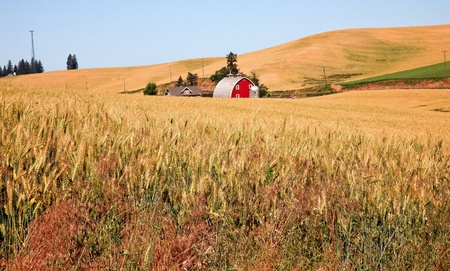 Red Barn in Ripe Wheat Field Ready for Harvest Palouse Washington State Pacific Northwest photo