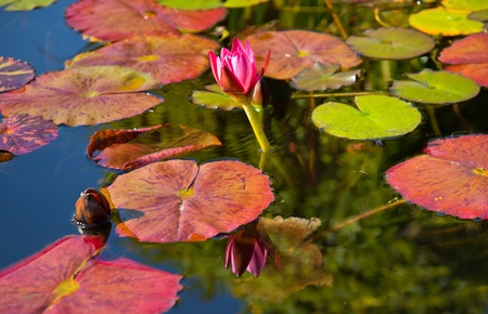 water lily: Pink Water Lilly Pond Reflection Mission San Juan Capistrano Garden California Stock Photo