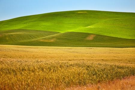 熟した緑黄色の麦畑が収穫パルース ワシントン州太平洋岸北西部の準備します。