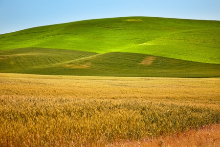 Ripe Green Yellow Wheat Fields Ready for Harvest Palouse Washington State Pacific Northwest photo