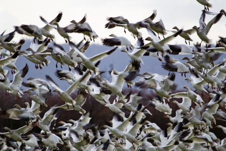 Hundreds of Snow Geese Taking Off Flying In Response to Threat