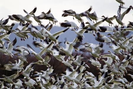 Setki Śnieg Geese Taking Off Latanie W odpowiedzi na zagrożenie Zdjęcie Seryjne