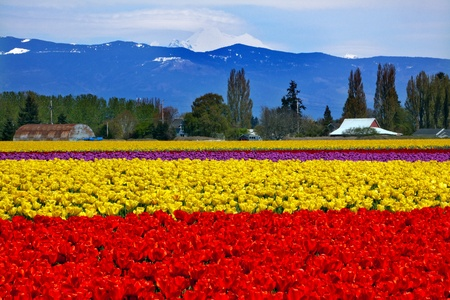 washington state: Red Yellow Tulips Flowers Mt Baker Skagit Valley Farm Washington State Pacific Northwest