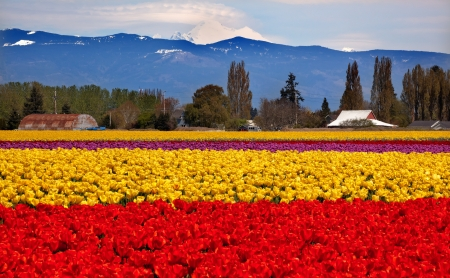 Red Yellow Tulips Flowers Mt Baker Skagit Valley Farm Washington State Pacific Northwest