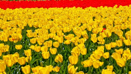 Red Yellow Tulips Flowers Backlit Skagit Valley Farm Washington State Pacific Northwest photo
