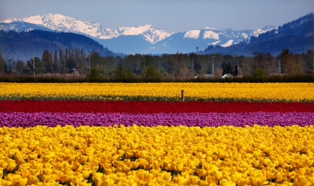 pacific northwest: Yellow Red Purple Tulips Flowers Daffodils Snow Mountains Skagit Valley Farm Washington State Pacific Northwest Stock Photo