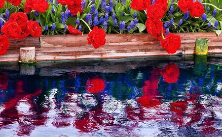 skagit: Red Tulips Blue Grape Hyacinths Muscari Flowers Reflection Skagit Valley Farm Washington State Pacific Northwest Stock Photo