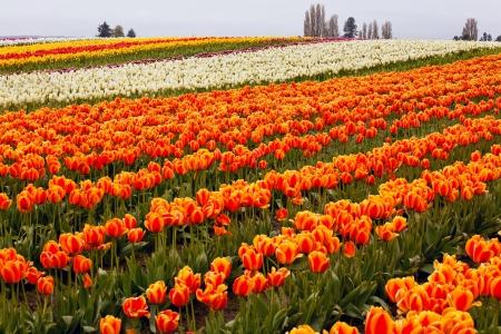 skagit: Red Orange White Tulips Flowers Field Skagit Valley Farm Washington State Pacific Northwest
