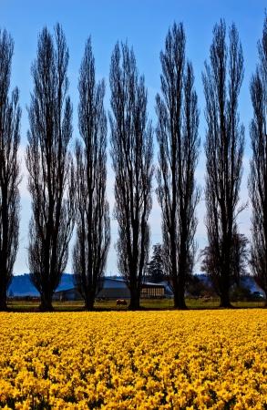 skagit: Yellow Daffodils, Cypress Trees, Farm, Flowers Skagit Valley Washington State Pacific Northwest