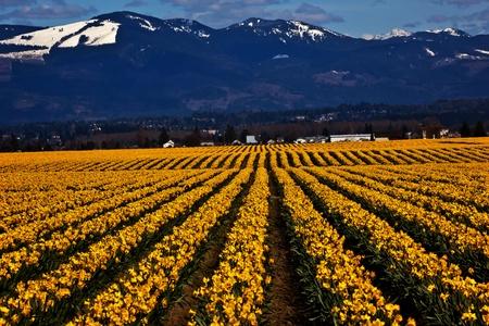 skagit: Spring Yellow Daffodil Rows Flowers Snow Mountains Skagit Valley Washington State Pacific Northwest