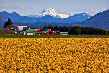 Mount Shuksan Red Farm Builiding Yellow Daffodils Flowers Snow Mountain Skagit Valley Washington State Pacific Northwest Foto de archivo