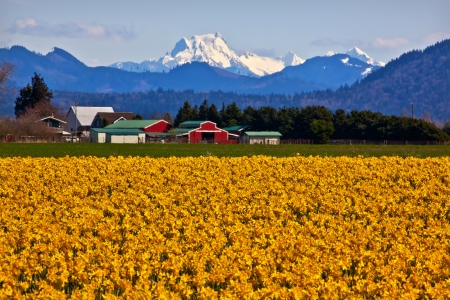 pacific northwest: Mount Shuksan Red Farm Builiding Yellow Daffodils Flowers Snow Mountain Skagit Valley Washington State Pacific Northwest Stock Photo
