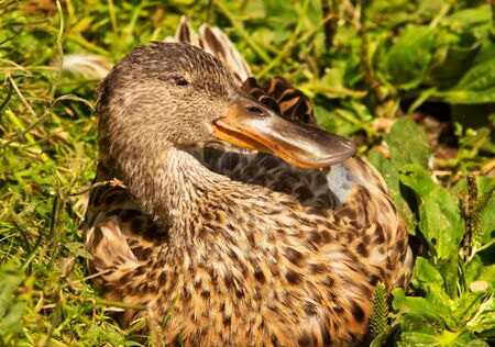 northern shoveler duck: Female Northern Shoveler Duck in Grass, Close Up of Head and Brown Feathers, Anas Clypeata