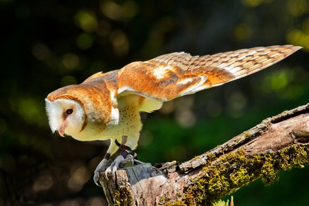 alba: Barn Owl Tyto Alba Stock Photo