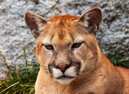 Mountain Lion Closeup Head, Cougar, Puma Concolor Predator, on Rocky Mountain photo