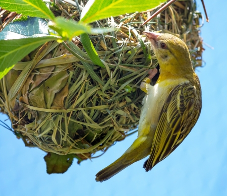 birdlife: Weaver Bird or Weaver Finch Ploceidae on Grass ball Nest Weaver birds get their names from the elaborate nests they create