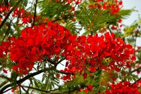 flamboyant: Bright Red Orange Flame Tree Green Fern Leaves Delonix Regia Hong Kong Royal Poinciana Flamboyant Krishnachura Gulmohar Stockfoto