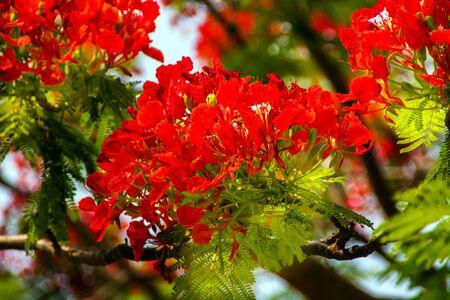 flamboyant: Bright Red Orange Flame Tree Green Fern Leaves Delonix Regia Hong Kong Royal Poinciana Flamboyant Krishnachura Gulmohar Stock Photo