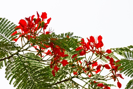 flamboyant: Bright Red Orange Flame Tree Green Fern Leaves Silhouette Delonix Regia Hong Kong Royal Poinciana Flamboyant Krishnachura Gulmohar