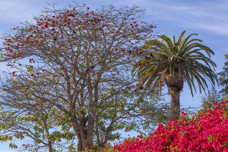 barbara: Red Coral Tree Erythina Cristi-Galli Bougainvillea Palm Tree  Santa Barbara California  Stock Photo
