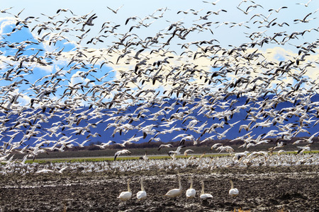 cygnus buccinator: Hundreds of Snow Geese Taking Off Flying In Response to Threat Trumpeter Swans Cygnus buccinator Watching