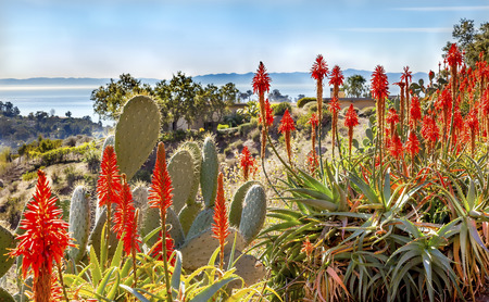 Prickly Pear Cactus Opuntua Ficus-Indici Orange Aloe Arborescens Cactus Flowers Morning Pacific Oecan View East Mountain Road Channel Islland Santa Barbara California