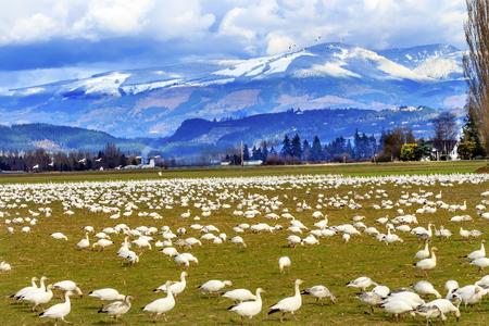 skagit: Snow Geese Feeding Snow Mountains Skagit Valley Washington