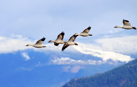 Snow Geese Flying Snow Mountains Skagit Valley Washington Archivio Fotografico