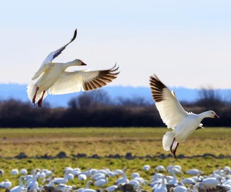 bandada pajaros: Landing Snow Geese alas extendidas