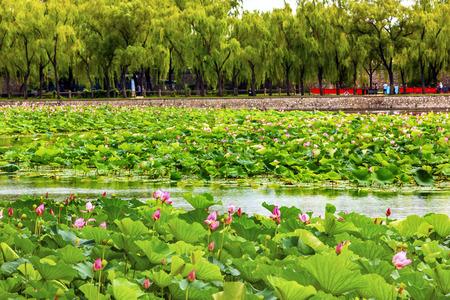 people's cultural palace: Pink Lotus Pads Garden Summer Palace Beijing China