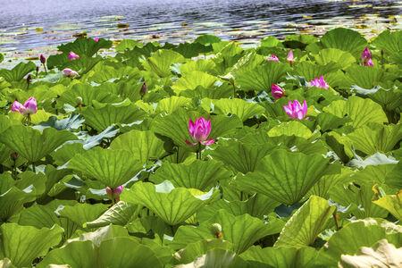 Pink Lotus Pads Garden Reflection Summer Palace Beijing China Stock Photo