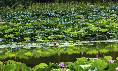 people's cultural palace: Pink Lotus Pads Garden Reflection Summer Palace Beijing China Stock Photo