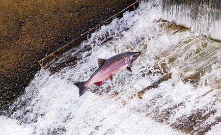 Salmon Jumping Dam Issaquah Hatrhery Washington.  Salmon swim up the Issaquah creek and are caught in the Hatchery.  In the Hatchery, they will be killed for their eggs and sperm, which will be used to create more salmon.