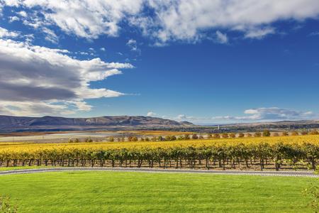 Yellow Leaves Vines Rows Grapes Wine Green Grass Autumn Red Mountain Benton City Washington